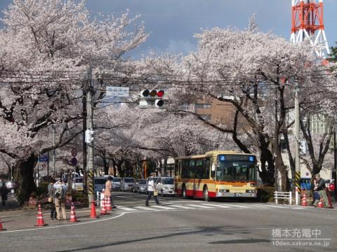 2014年相模原市民桜まつり直前 市役所前の桜の様子