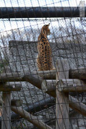 多摩動物公園 サーバルキャット アポロ