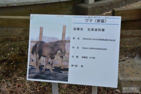 多摩動物公園 ウマ(北海道和種)